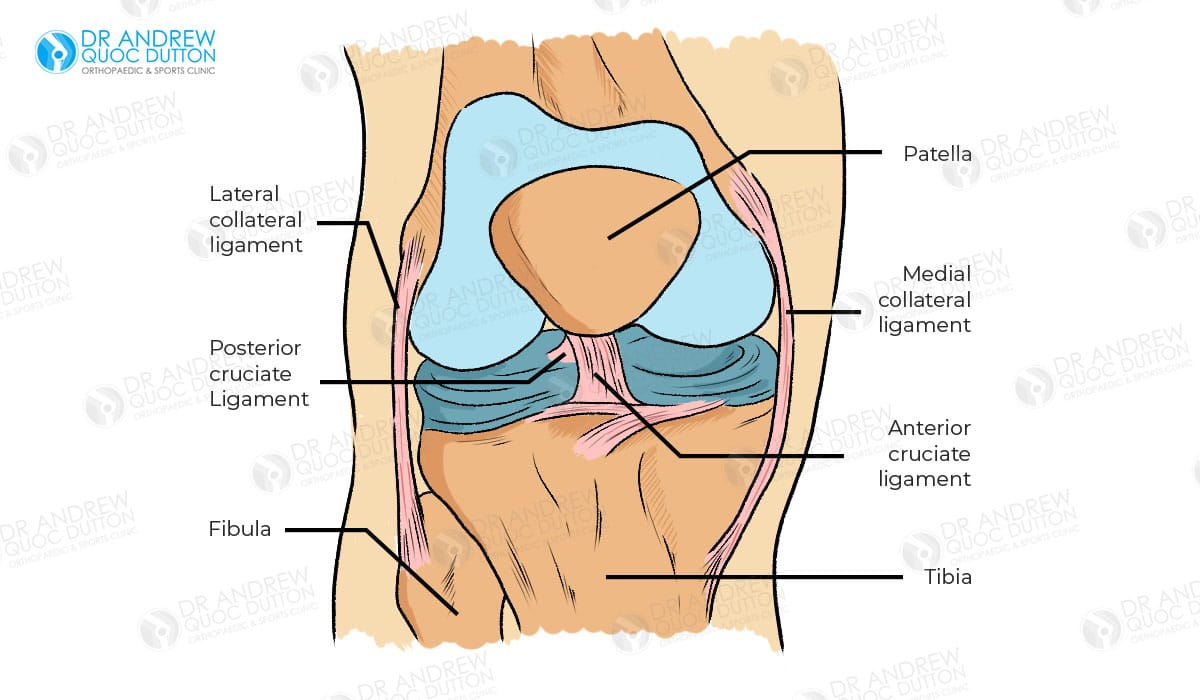 Dr Andrew Dutton Acl Ligament Illustration