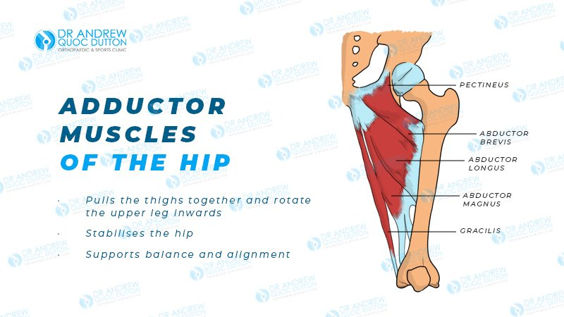 dr andrew dutton adductor tendinopathy illustration